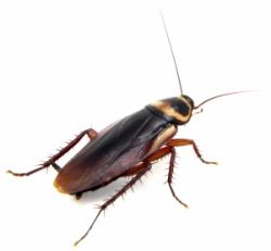 cockroach3